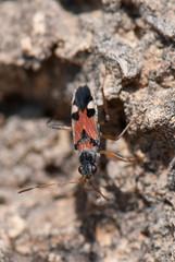 Fire beetle 2