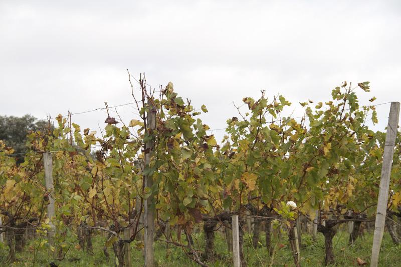Vignoble Saint Emilion Vin