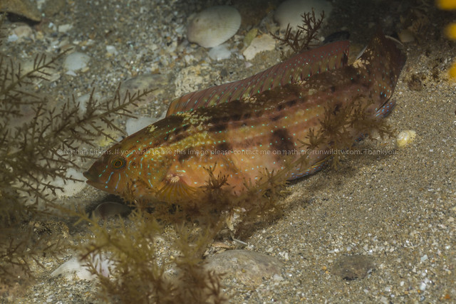Senator wrasse female