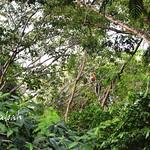 林中的長鼻猴