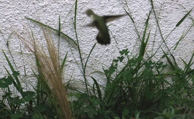 hummingbird in flight (2014)