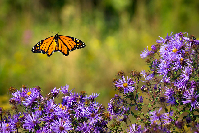 Butterfly, Monarch, Flight, Fly, Aster, Purple, Flowers, Wildflowers