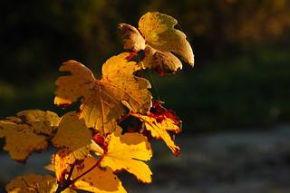 herbstliche Weinblätter, bei Oberkreuzstetten