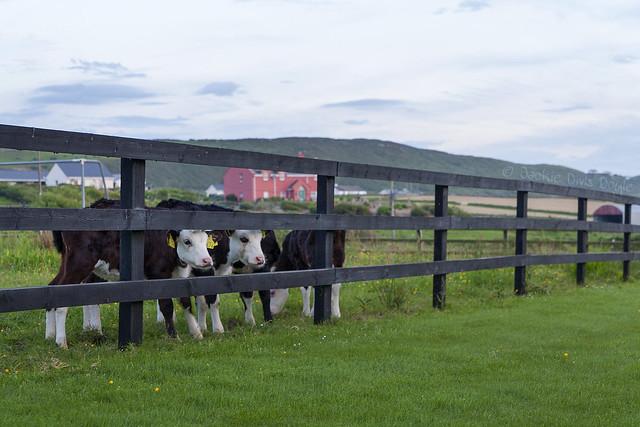 Cow-neighbors