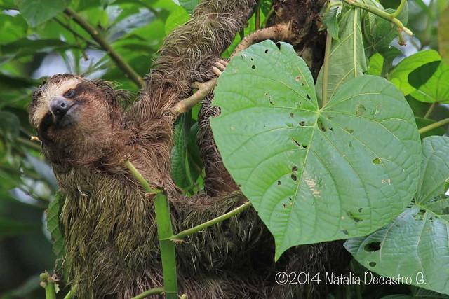 three-toed sloth/ Perezoso de tres uñas (Bradypus variegatus)