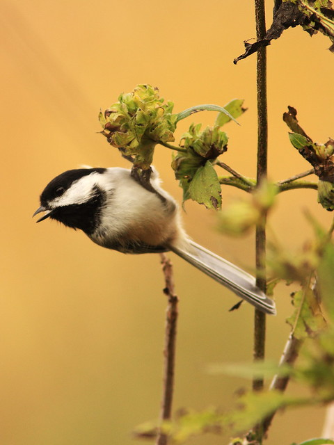 Black-capped Chickadee 11-20141021