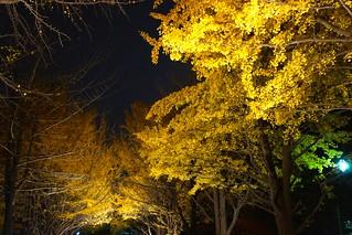 Изображение на イチョウ並木. hokkaido 北海道 紅葉
