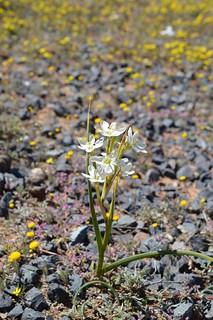 Moraea miniata モラエア ミニアータ