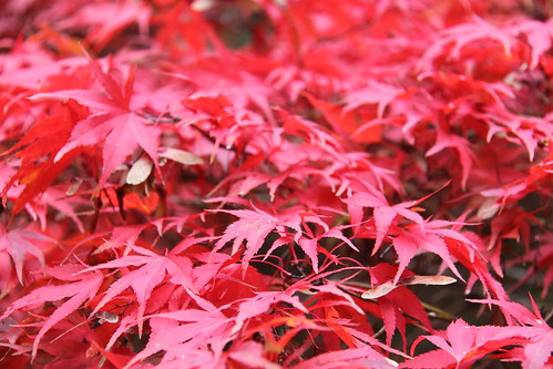 Acers in red
