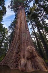 Giant Sequoia 5