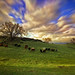 Cows on Ranch 33b by Mark Teufel