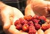 blackberries and hands