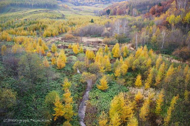 カラ松黄葉1