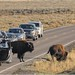 Buffalo Jam Yellowstone National Park