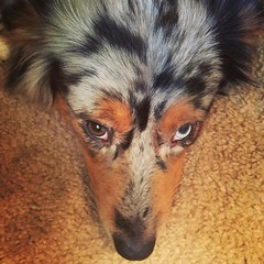 Come on dad. I'm trying to take a nap... #miniaussie #aussielove #americanshepherd