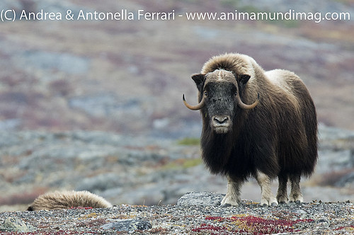 reefwondersdotnet posted a photo:	Musk-ox Ovibos moschatus bull, Nunavik province, Northern Quebec, Canada