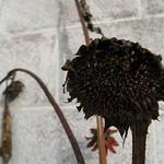 sunflower - October