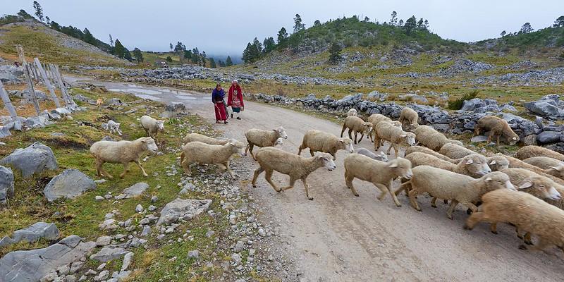 Sheep's on the run- Guatemala