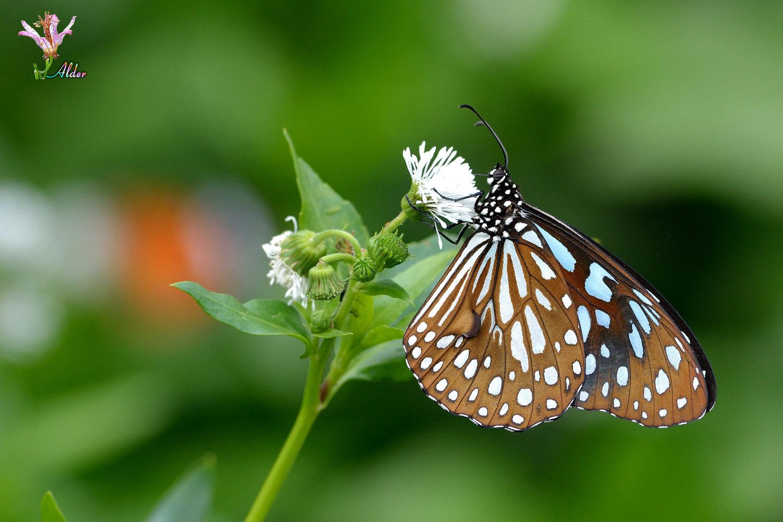 Butterfly_9078