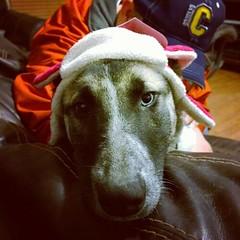 Riley was also not impressed. #GSD #germanshepherddog #husky #shepsky #puppy #dogsinhats