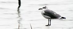 Sea Gull Harkers Island NC 3746