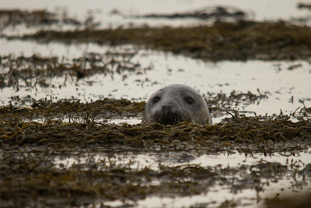 Grey Seal - Explored 09 Nov 2014