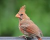 Northern Cardinal Looking Sharp