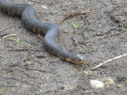 snake 2017 lakemattamaskeetnwr nerodia northernwatersnake sipedon herp nerodiasipedon nc