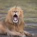 Yawning Lion by Petri Lopia