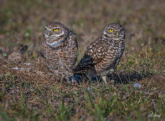 Burrowing Owls Bookends by Chris St. Michael