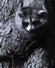 Raccoon Sticking Head Out of Tree