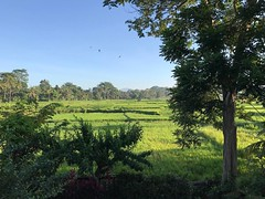 Good morning Bali! #paddyfields