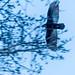 1704_0697 Turkey Vulture by wild prairie man
