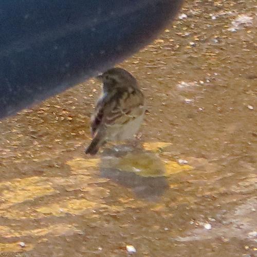 Sparrow Zoom