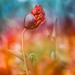 Mohn Inferno by SonjaS.