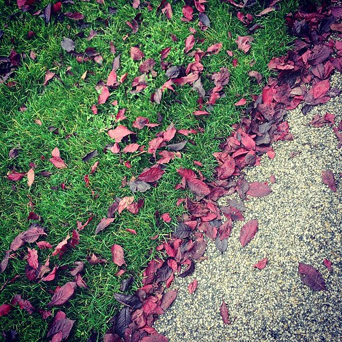 Copper beech leaves are falling