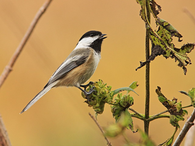 Black-capped Chickadee2 01-20141021