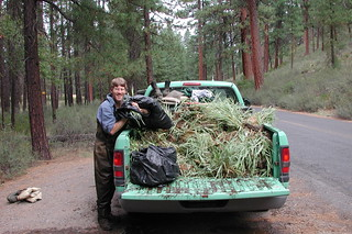 truckload of ribbongrass.JPG