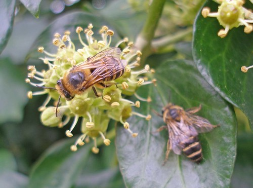 Ivy bees on ivy Salcombe