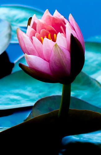 flowers blue shadow plants white plant black flower color art nature water landscape photography 50mm photo pond nikon raw texas waterlily lily unitedstates photos 14 colorphotography sanangelo waterlilypond nikond600