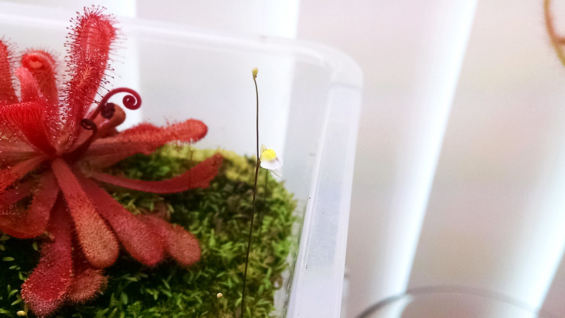 Utricularia bisquamata flower.