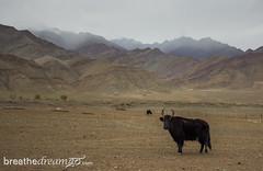 Ladakh yak
