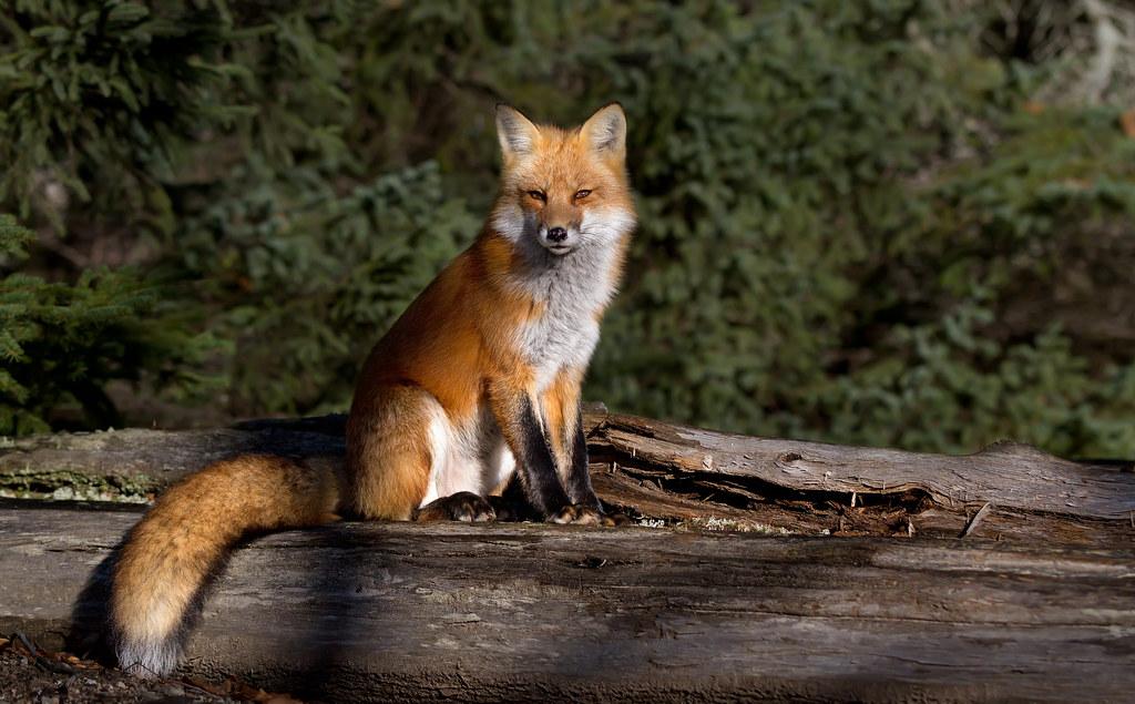 Red fox , Algonquin Park, Canada