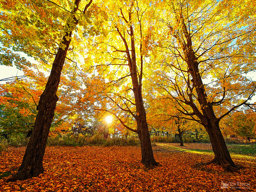 autumn trees sun toronto ontario canada leaves backlight maple highpark peaceful backlit