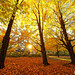 The maple grove