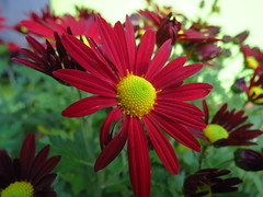 annual plant, flower, plant, marguerite daisy, gerbera, daisy, macro photography, wildflower, flora, close-up, chrysanths, daisy, petal,