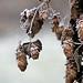 frosty hops