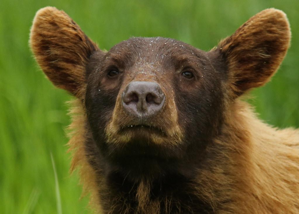 Cinnamon coloured Black Bear...#12 (In the wild...)