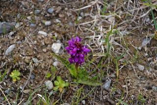 122 Breedbladige orchis
