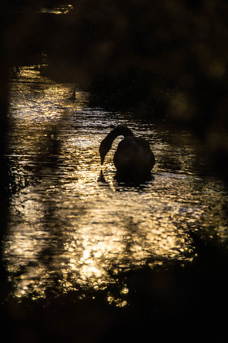 water river canal swan sunsetukswarmesthalloweensoutheastengland236c 74fmoonmoonlightsunsethampshirelandscape